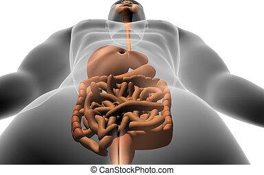 corpo, sistema digestivo, umano