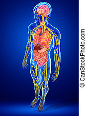 corpo, sistema nervoso, digestivo, grafica, maschio