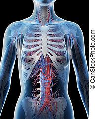 corpo, superiore, sistema, vascolare