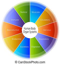 corpo, umano, grafico, organo, sistemi