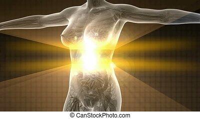 corpo umano, in, raggi x