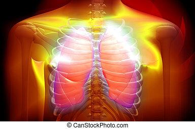 corpo, umano, polmoni