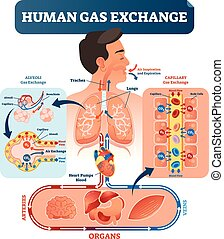 corpo, umano, tutto, indietro, illustration., polmoni, scambio, cellule, gas, ossigeno, sistema, vettore, co2., cuore, viaggiare
