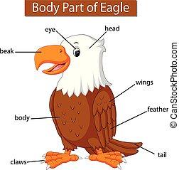 corporal, águia, mostrando, parte, diagrama