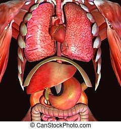 corporal, órgãos, ilustração, human, 3d
