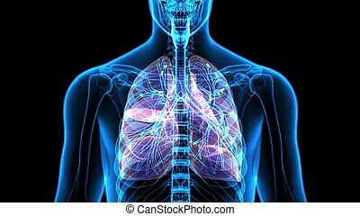 corporal, órgãos, (lungs).3d, human