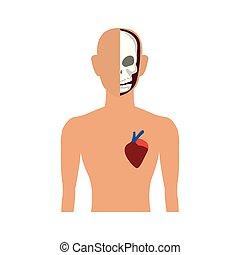 corporal, anatomia, human