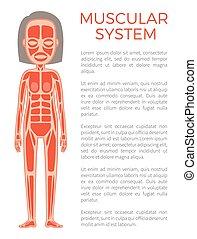 corporal, cartaz, sistema, ilustração, vetorial, muscular