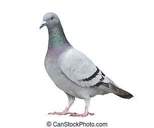 corporal, cinzento, cheio, cor, velocidade, pombo, isolado, ...
