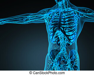 corporal, circulação, sistema, human, ossos, transparente, cardiovascular