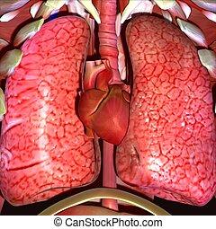 corporal, coração, pulmões, ilustração, human, 3d