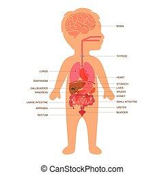 corporal, criança, anatomia
