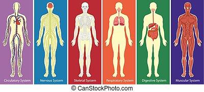 corporal, diagrama, diferente, sistemas, human