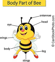 corporal, diagrama, mostrando, parte, abelha