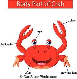 corporal, diagrama, mostrando, parte, carangueijo
