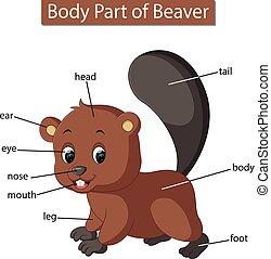 corporal, diagrama, mostrando, parte, castor