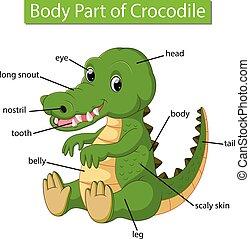 corporal, diagrama, mostrando, parte, crocodilo