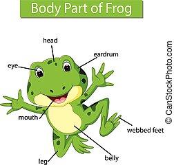 corporal, diagrama, mostrando, parte, rã