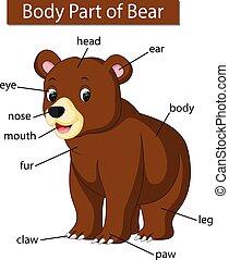 corporal, diagrama, mostrando, parte, urso