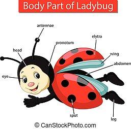 corporal, ladybug, mostrando, parte, diagrama