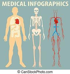 corporal, médico, infographic, human