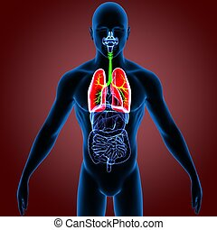 corporal, render, sistema, (lungs)., human, órgãos, 3d