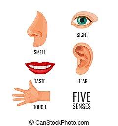corporal, sentidos, partes, vetorial, títulos, cinco, ilustração
