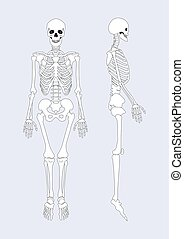 corporal, sistema esquelético, ilustração, vetorial, human