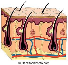 corps, anatomie, diagramme, peau humaine
