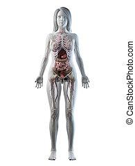 corps, anatomie, entiers, femelles