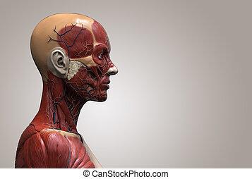 corps, anatomie, femme, humain