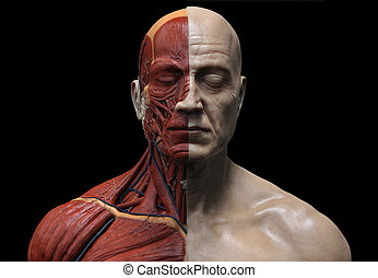 corps, anatomie, humain, homme