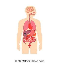 corps, anatomie, humain