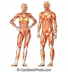 corps, anatomie, mâle, humain, femme