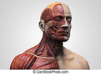 corps, anatomie, mâle, humain