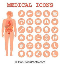 corps, anatomie, organes, humain