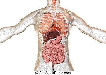 corps, anatomie, système respiratoire, digestif, humain