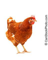 corps, brun, usage, entiers, animaux, bétail, ferme, poule,...