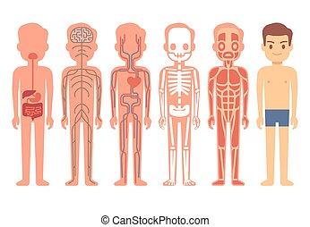 corps, circulatoire, squelette, illustration., nerveux,...