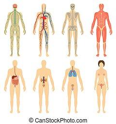 corps, ensemble, systèmes, humain, organes, vitality.