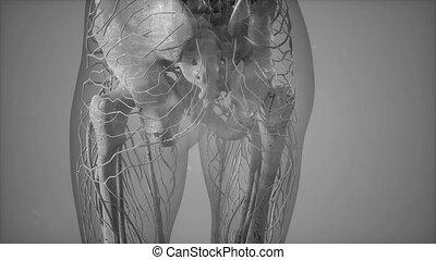 corps, gros plan, complet, système squelettique, transparent, vue