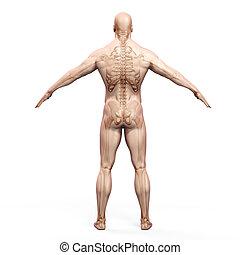 corps, humain, render, skeleto, 3d