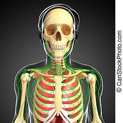 corps, lymphatique, respiratoire, système squelettique, typon, mâle