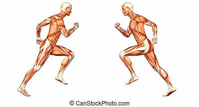 corps mâle, anatomie