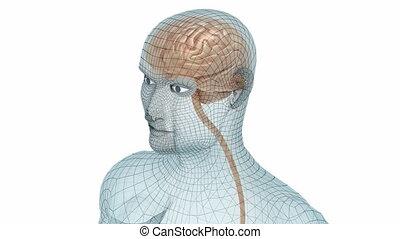 corps, modèle cerveau, fil, humain