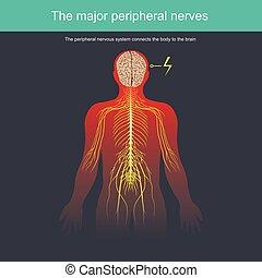 corps, nerveux, périphérique, système, connecte, cerveau