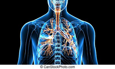 corps, organes, (lungs).3d, humain