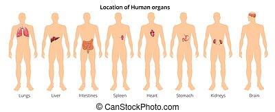 corps, orgue, flashcards, educative, dos, illustration, anatomie, réaliste, vecteur, systèmes, humain, affiche, devant, 8, physiologie, vue
