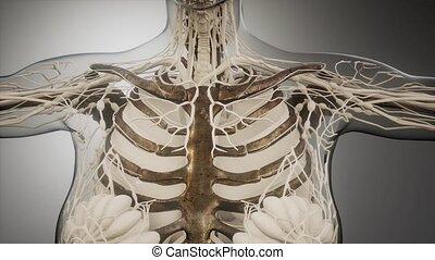 corps, os, humain, transparent, visible