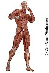 corps, peau, muscles, isolé, illustration, anatomie, sans, blanc mâle, 3d